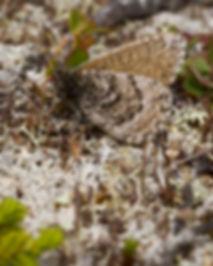 Oeneis-bore-Arctic-Grayling | PTKbutterflies