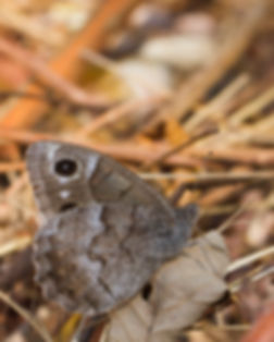 hipparchia-statilinus-tree-grayling | PTKbutterflies