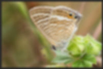 Lampides-boeticus-long-tailed-blue | PTKbutterflies