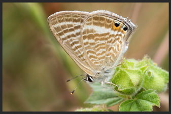 Lampides-boeticus-long-tailed-blue   PTKbutterflies