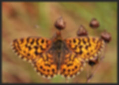 Boloria-dia-weavers-or-violet-fritillary | PTKbutterflies