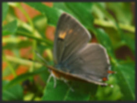 Thecla-betulae-brown-hairstreak | PTKbutterflies