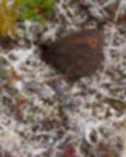 Erebia-disa-Arctic-Ringlet | PTKbutterflies
