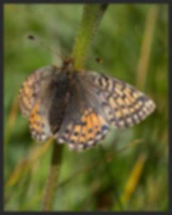 Boloria-napaea-mountain-fritillary | PTKbutterflies