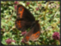 Erebia-meolans-piedmont-ringlet | PTKbutterflies