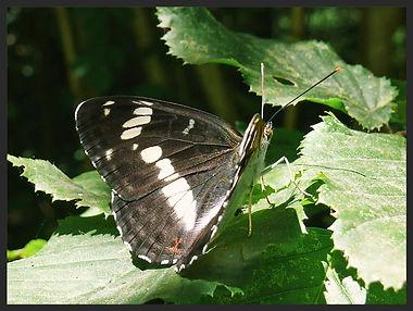 Limenitis-camilla-white-admiral   PTKbutterflies