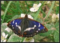 Apatura-iris-purple-emperor | PTKbutterflies