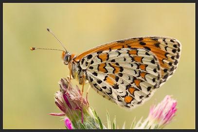 Melitaea-trivia-lesser-spotted-fritillar | PTKbutterflies