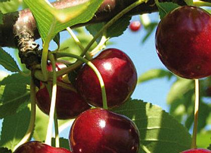 Groniasta - Vyšnių sodinukas