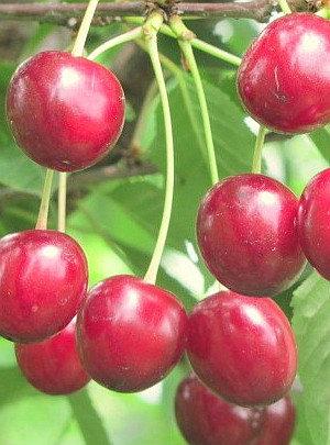 Turgenevka - Vyšnių sodinukas