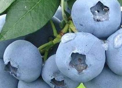 Bluegold - Šilauogių sodinukas