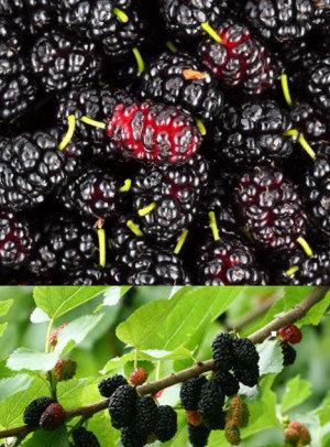 Juodasis šilkmedis - Šilkmedžio sodinukas