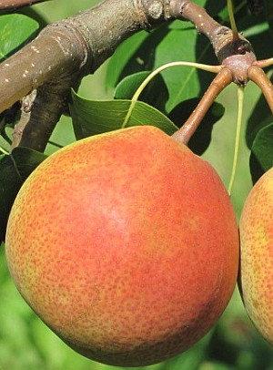 Mramarnaja - Kriaušių sodinukas