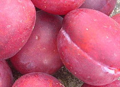 Opal - Slyvos sodinukas