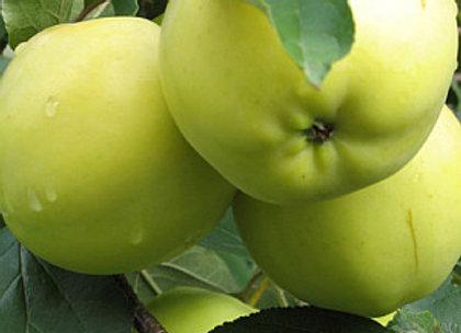 Beržininkų ananasas - Rudeninė obelis