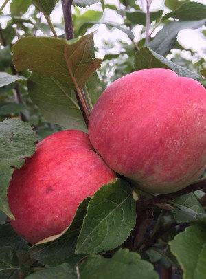 Persikinis - Vasarinė obelis