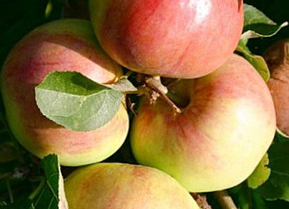 Polka - Koloninė obelis