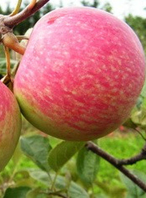 Konfetnaja - Vasarinė obelis