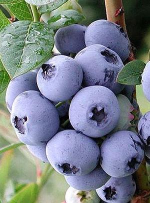 Bluecrop - Šilauogių sodinukas