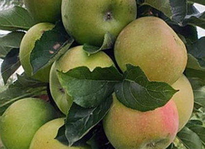 Rondo - Koloninė obelis