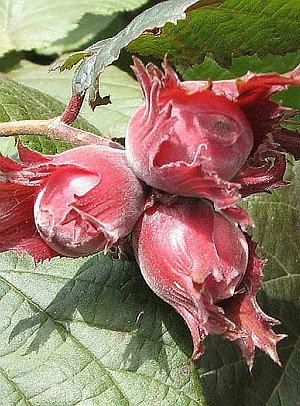 Lamberto raudoni- Lazdynų sodinukai