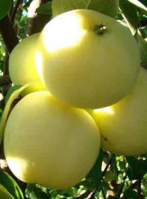 Alyvinis - Vasarinė obelis