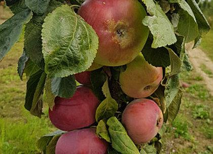 Ostankino - Koloninė obelis