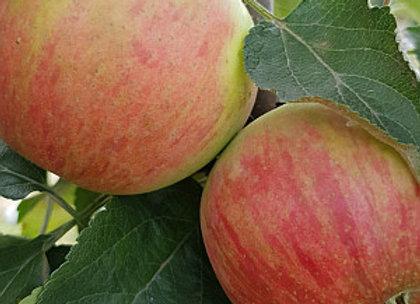 Vasiugan - Koloninė obelis