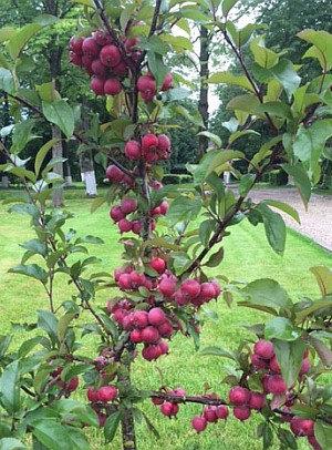 Raudonlapė - Rojaus obelis