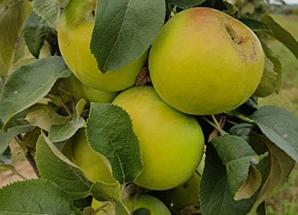 Tuscan - Koloninė obelis