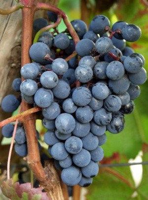 Venus - Vynuogių sodinukas