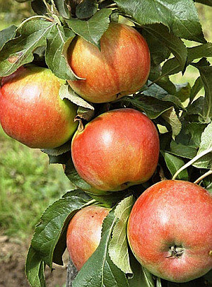 Baiba - Koloninė obelis