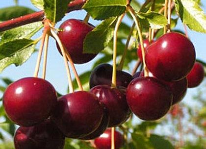 Pandy - Vyšnių sodinukas