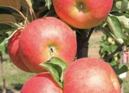 Star cats - Koloninė obelis