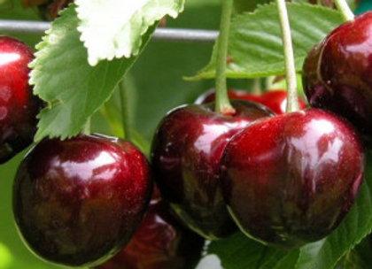 Maladiožnaja - Vyšnių sodinukas