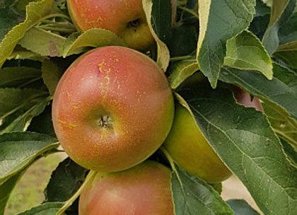 Walts - Koloninė obelis