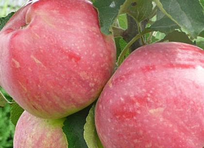 Uldis - Koloninė obelis