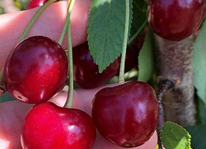 Nefris - Vyšnių sodinukas