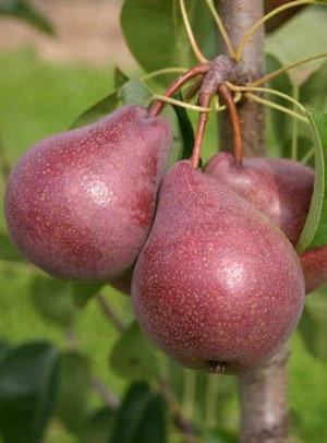 Red favorytka - Kriaušių sodinukas