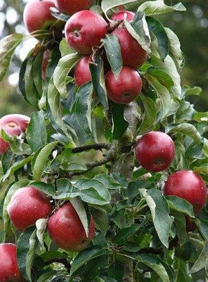 Telamon - Koloninė obelis