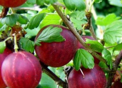 Hinonmaki - Agrastų sodinukas
