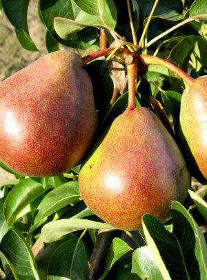 Decora - Kriaušių sodinukas