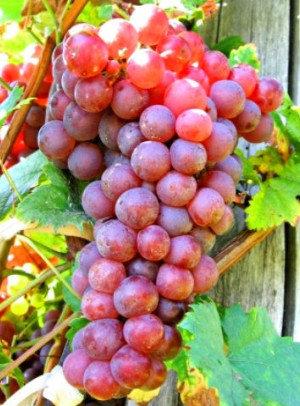 Canadice - Vynuogių sodinukas