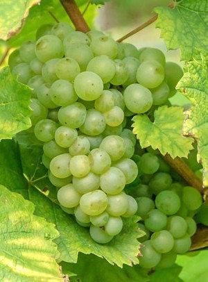 Himrod - Vynuogių sodinukas