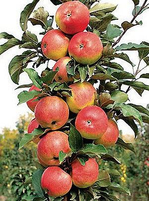 Ilma - Koloninė obelis