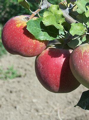 Florina - Žieminė obelis