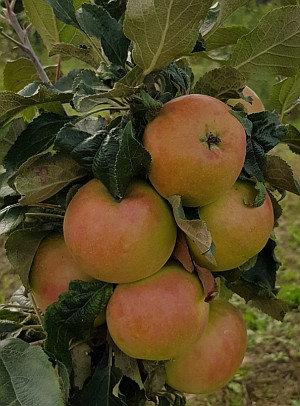 Valiuta - Koloninė obelis
