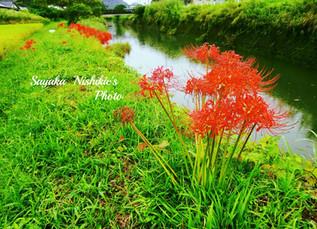 今年も河原に咲きました 彼岸花
