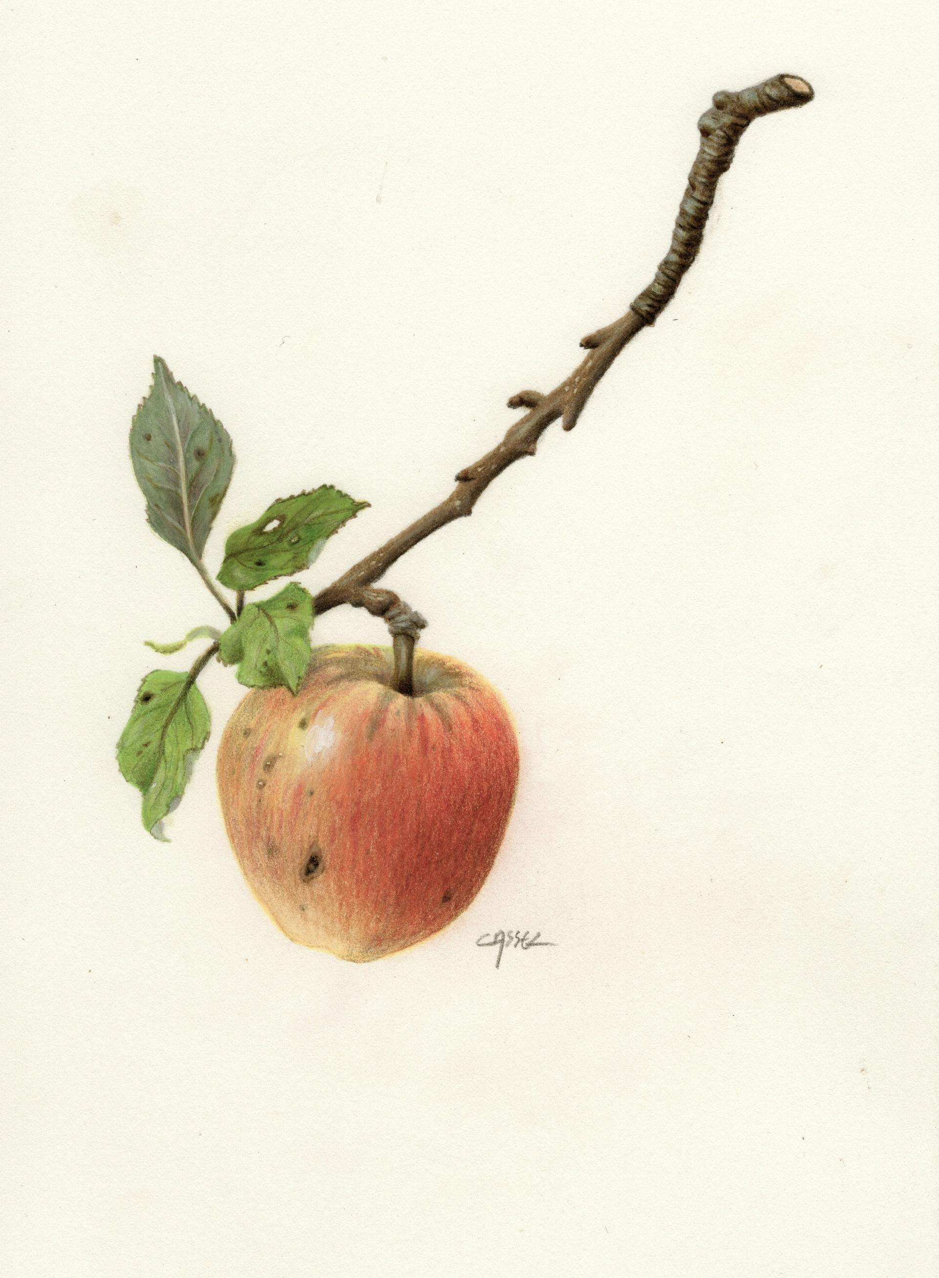 """Pomme """"Reine des reinettes"""""""