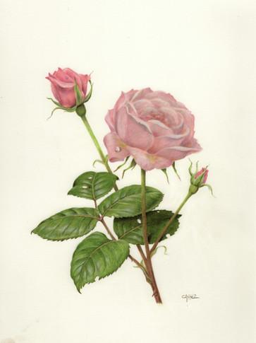 "Rose ""Queen Elizabeth"""